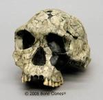 The rare H. Habilis skull