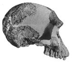 Homo habilis skull--not the size of the skull cap (from brow to top)