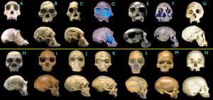 fossil-hominid-skulls